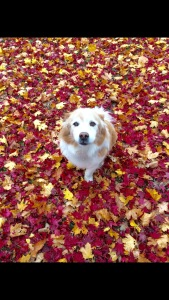 Linus plays in the leaves. (Photo by Ms. DiPersio)