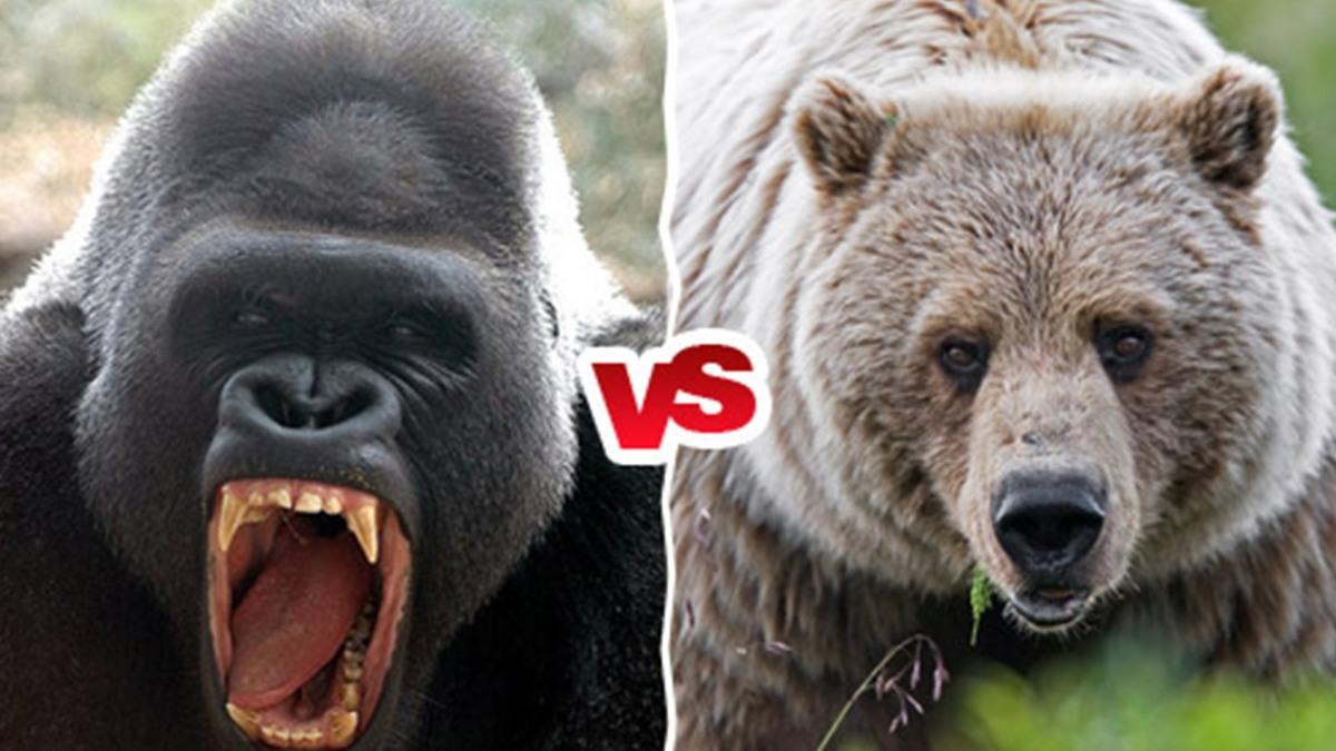 Gorilla vs. Kodiak Bear – The First Launch